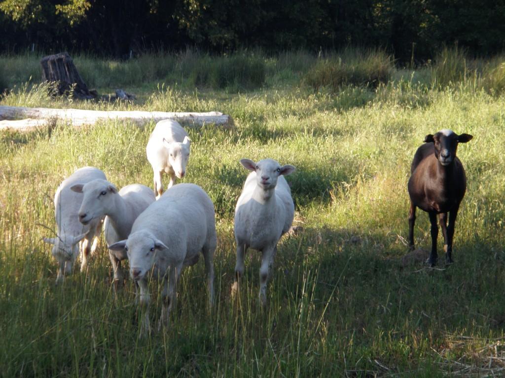 Early morning sheep.