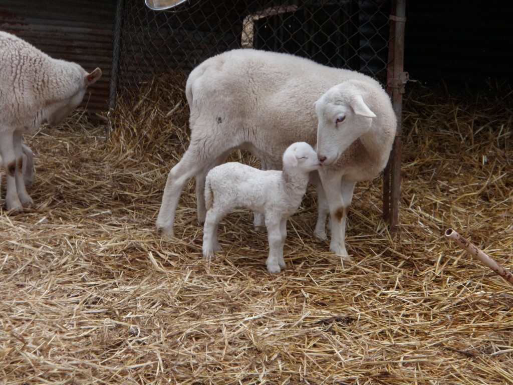 Our Katahdin sheep are bred from heritage breeds.