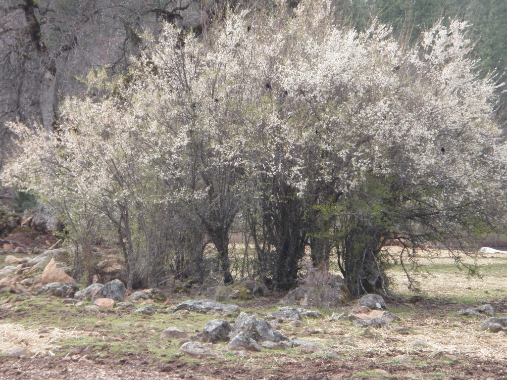 You can't see them, but this wild plum thicket is alive with red-winged blackbirds.