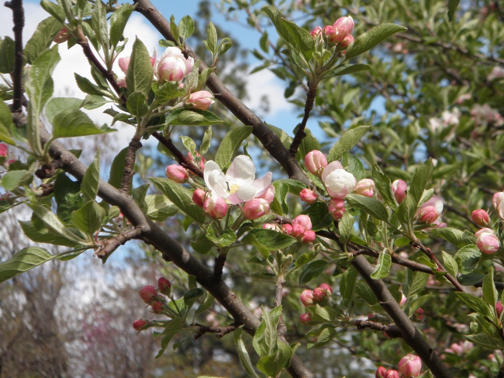 Apple blossoms against a spring sky.