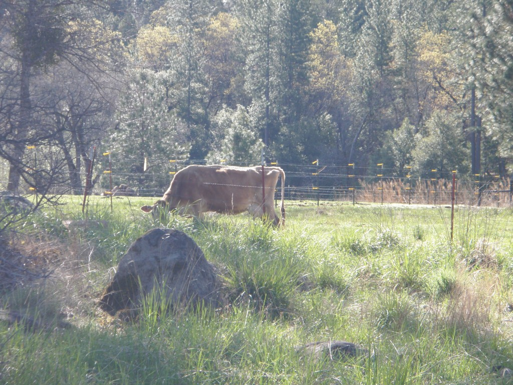 Green grass, shade and a chance to rest -- what more could a milk cow ask?