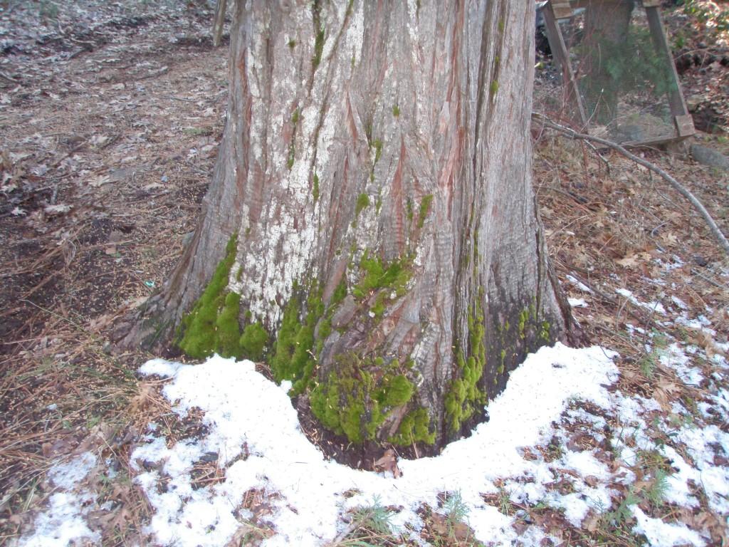 Not much on this cedar tree.