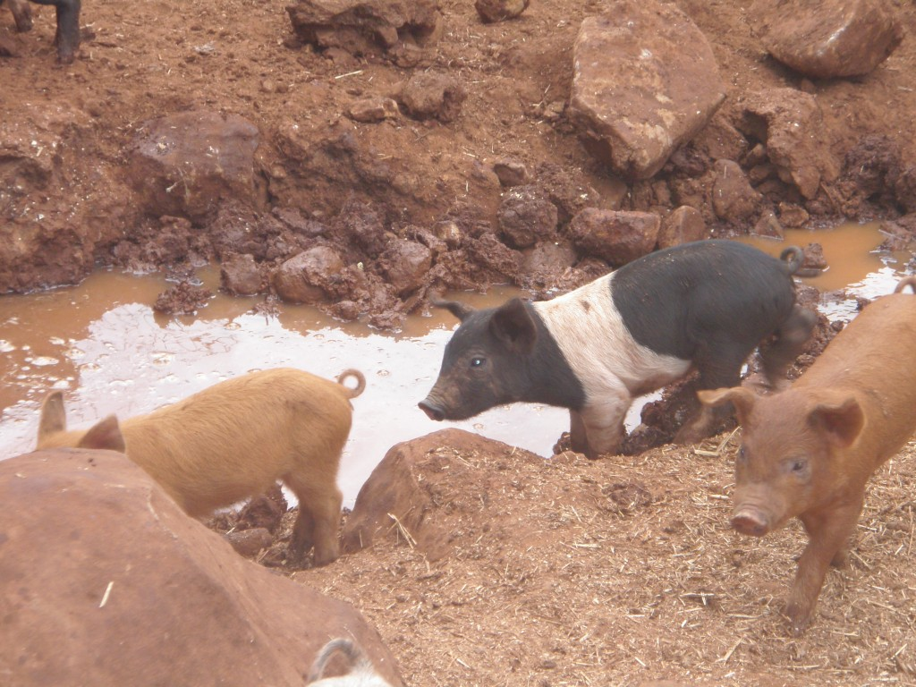 Pigs and mud go together like ham and eggs.