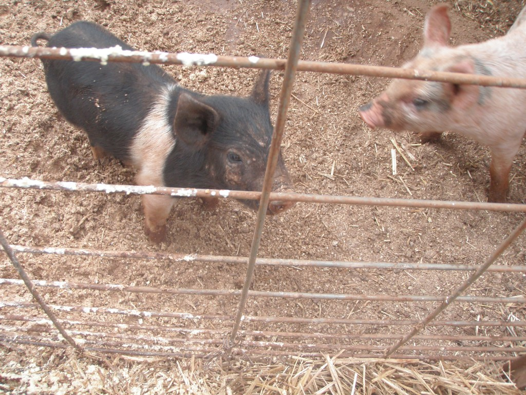 Pork chops on the hoof!