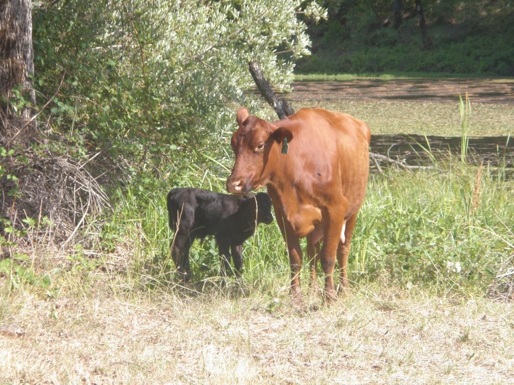 Strawberry and calf.