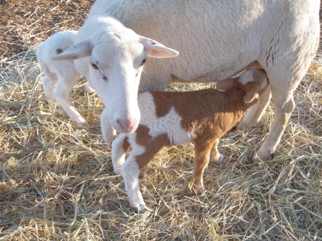 Lamb chops in my future.