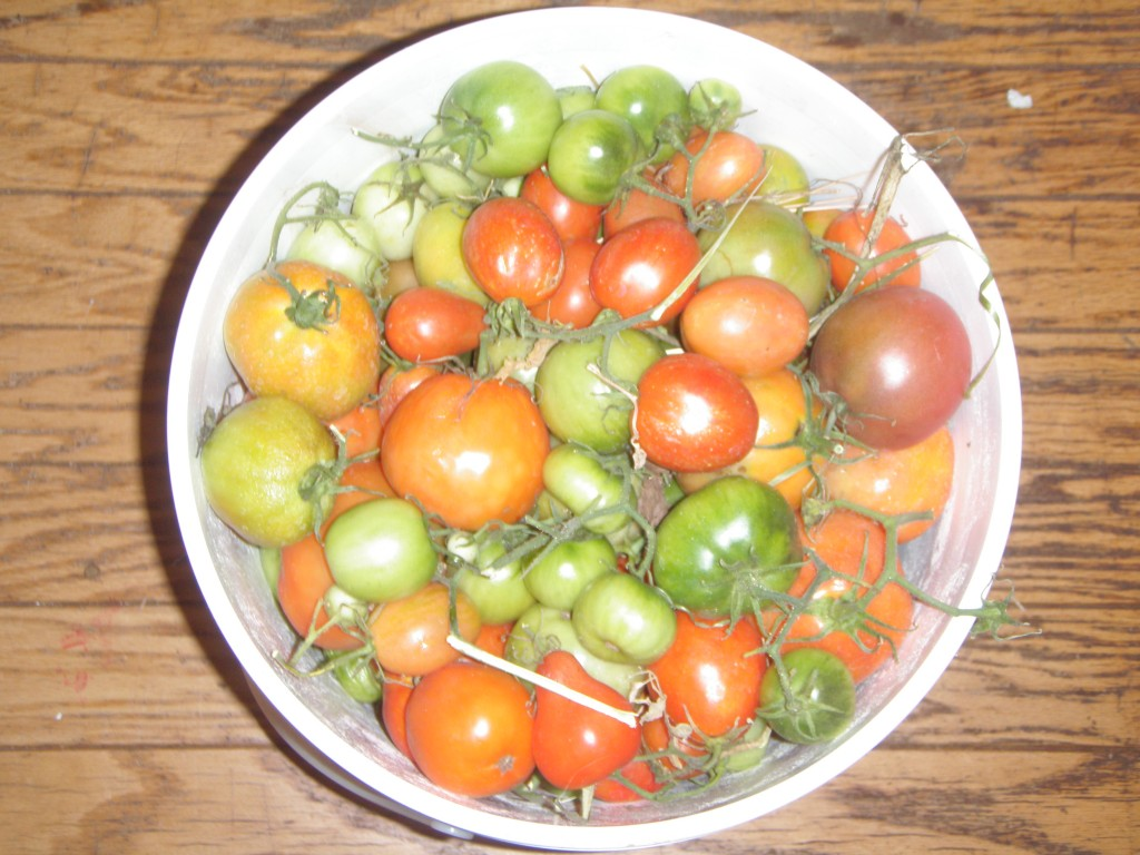 Cleaning up the tomatoes before frost.
