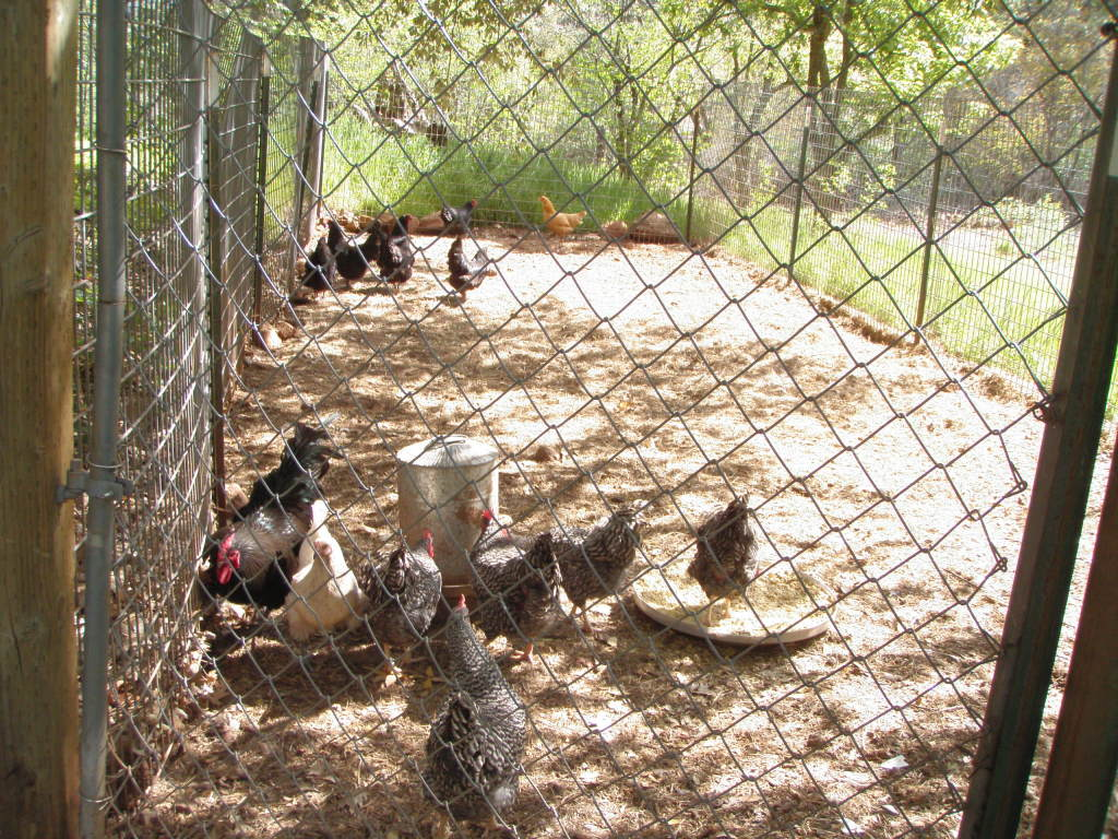 The current flock - Barred Rocks, Australorps, an elderly Buff Cornish and one Australorp/Delaware cross.