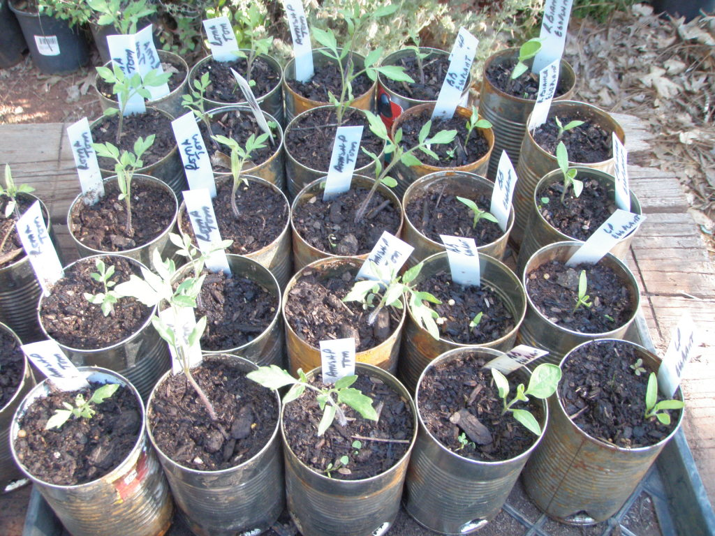 Tomato, pepper and eggplant seedlings.