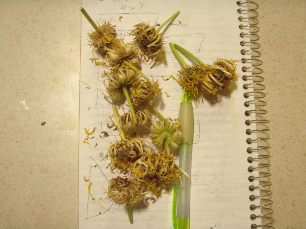 Seedheads for next year's calendulas.