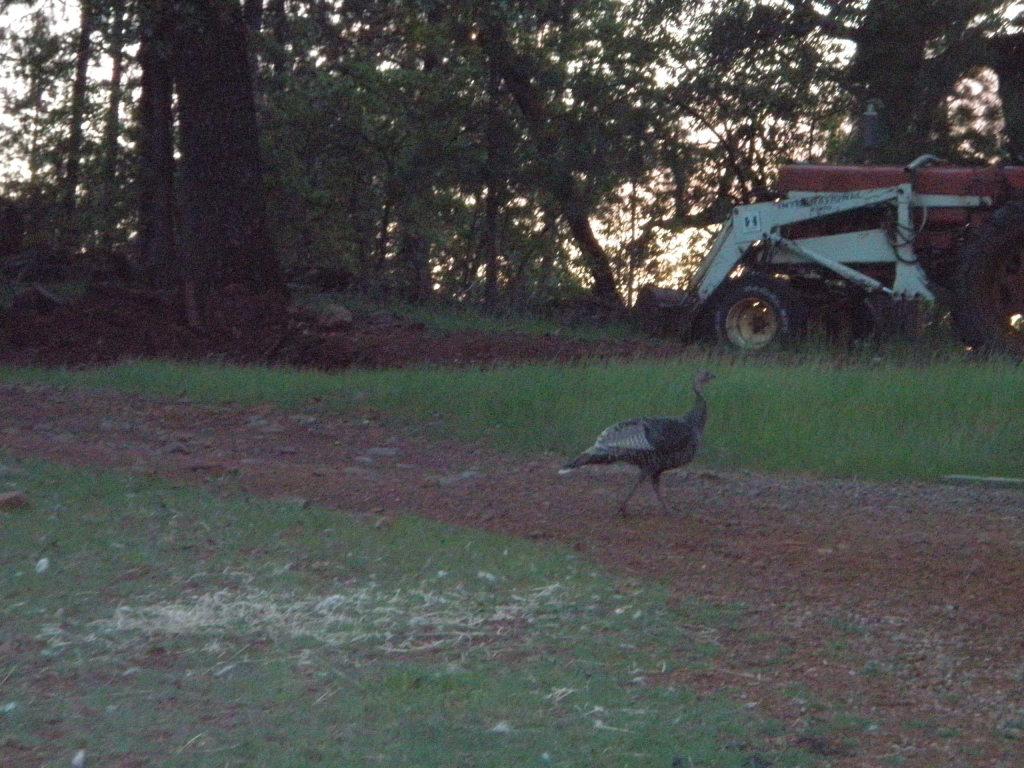 "Hen turkey ""helping"" us feed."