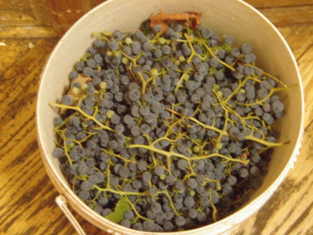 Grapes by the bucketful.