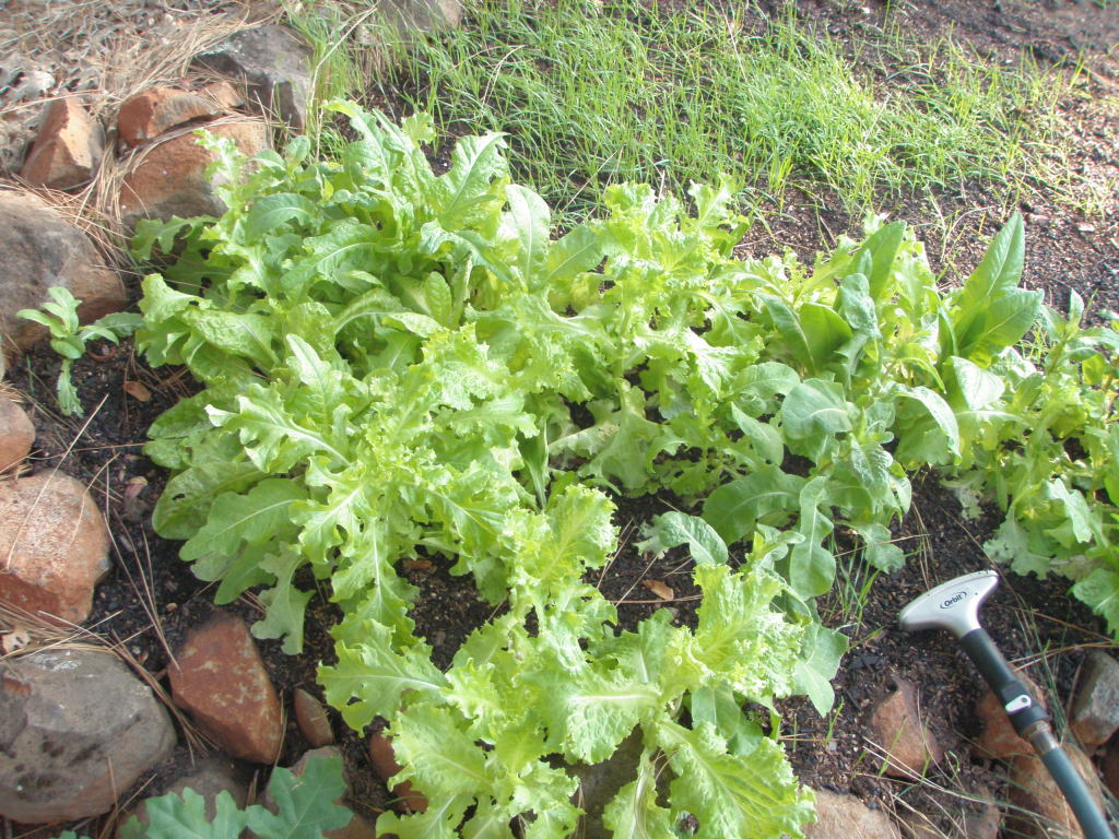 Mixed lettuce in the shady bed. Lettuce reseeds so readily, you can just toss the plants down in the next spot where you want to grow lettuce and let them have at it.
