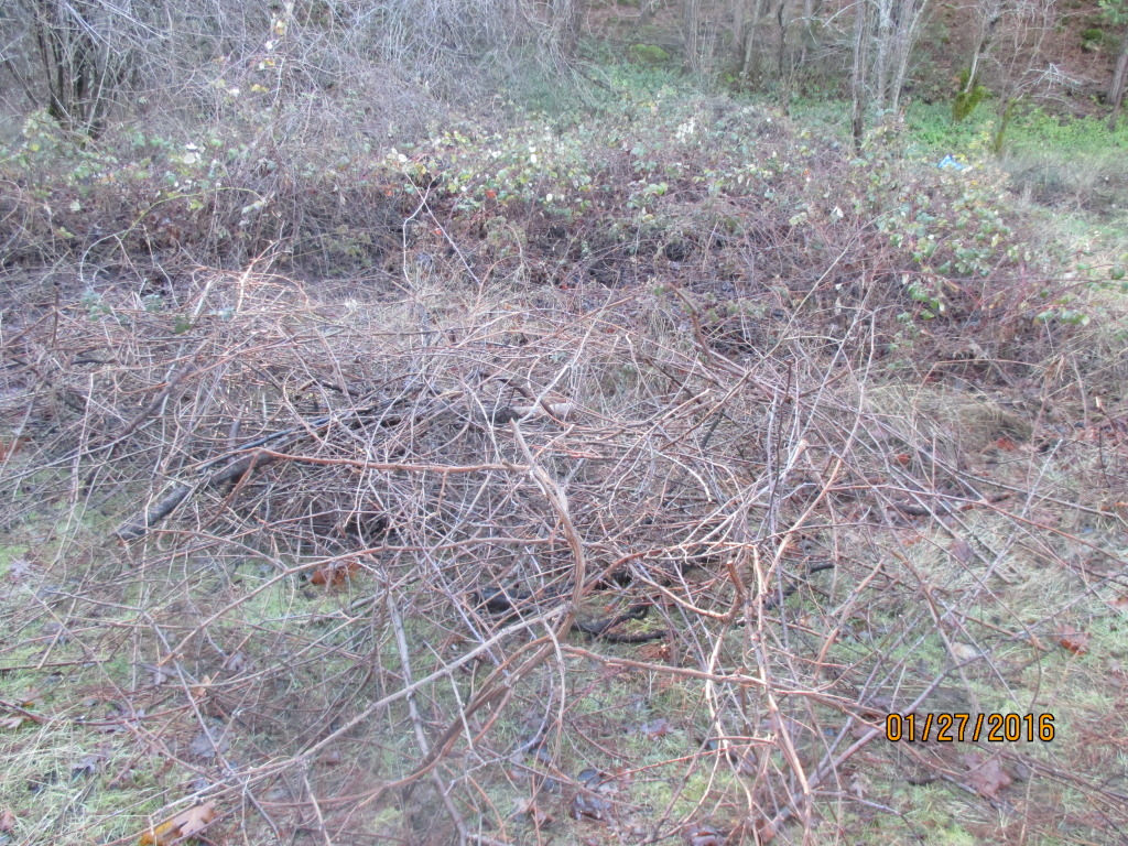 Here's an example of the snarl of blackberry and grape vines.