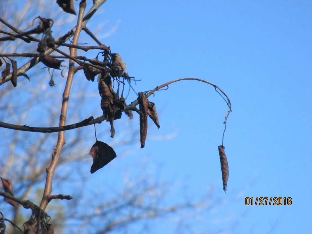 Fireblight in a pear tree. All these branches must be pruned and burned.