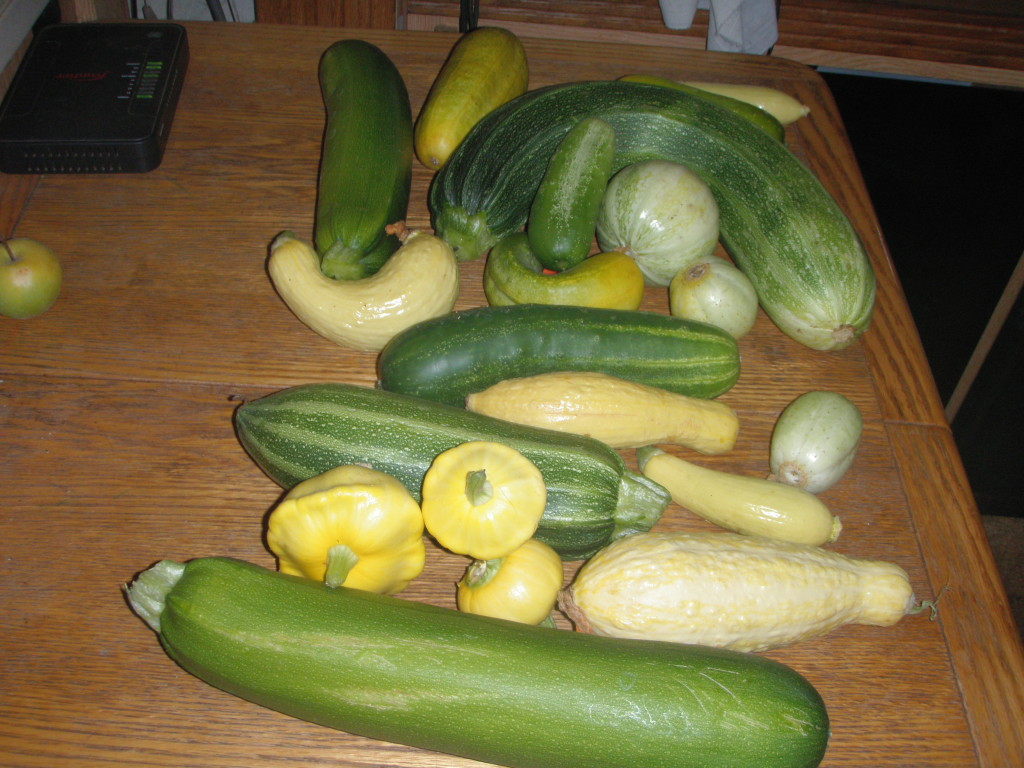 Summer squash and cucumbers, headed for the sauteing pan, the pickle jar and the freezer.