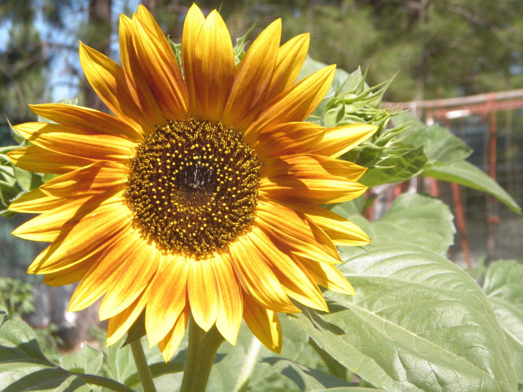 Sunflower of unknown provenance.