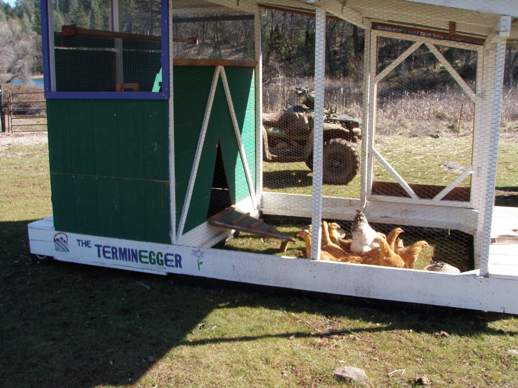 Chicken tractor AKA the Terminegger on pasture.