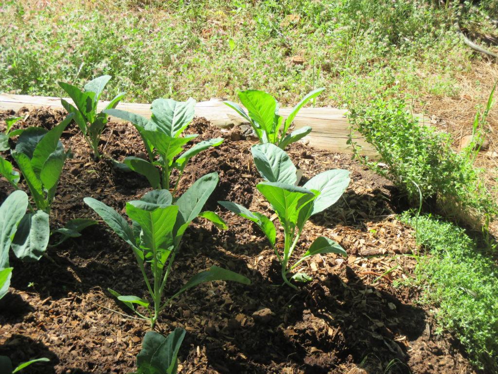 Cabbage transplants with chicken litter mulch.